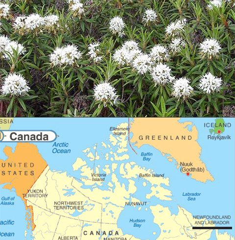 Labrador Tea shrub