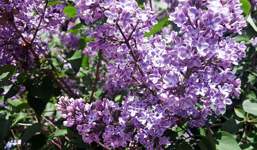 Lilac Blueberry Cheesecake lilac tree