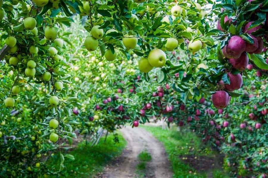 rganic Washington apples